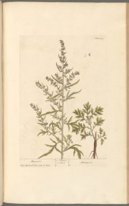 Mugwort Venus Plant